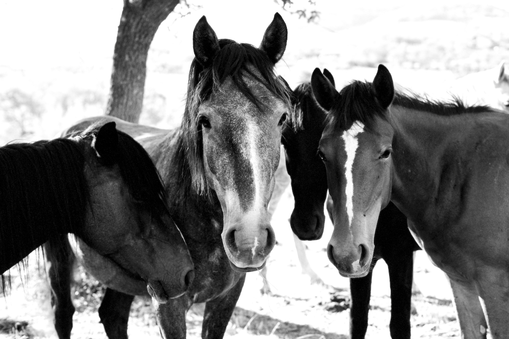 Wild Horses - 630015w